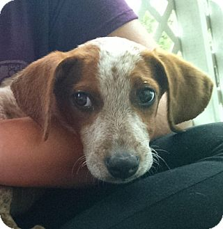 Hound (Unknown Type) Mix Puppy for adoption in Columbia, South Carolina - Ginger