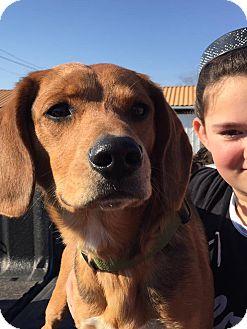 Hound (Unknown Type) Mix Dog for adoption in Washington, Pennsylvania - Marshall