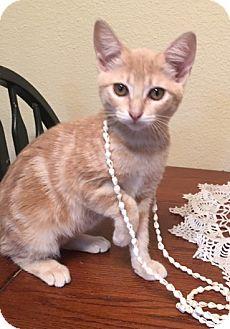 Domestic Shorthair Kitten for adoption in Houston, Texas - Mango