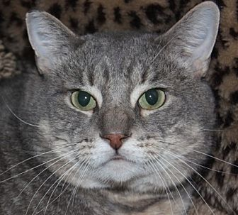 Domestic Shorthair Cat for adoption in Middletown, Connecticut - Kent