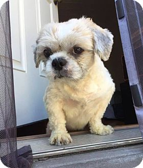 Shih Tzu Mix Dog for adoption in New York, New York - Teddy