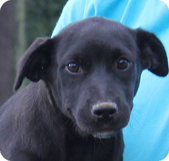 Labrador Retriever/Pit Bull Terrier Mix Puppy for adoption in Colonial Heights, Virginia - Pebbles