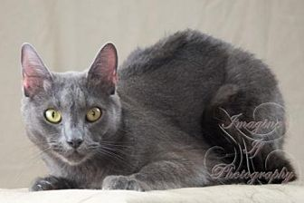 Domestic Shorthair Cat for adoption in Crescent, Oklahoma - Indy
