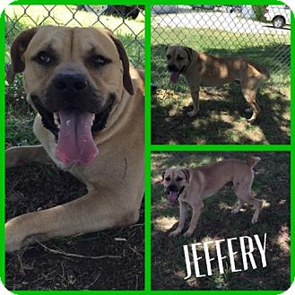 Labrador Retriever Mix Dog for adoption in Alvarado, Texas - JEFFERY