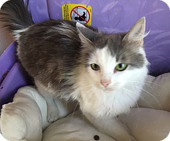Turkish Van Cat for adoption in Baltimore, Maryland - Fallon