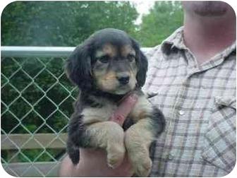 Cocker Spaniel Mix Puppy for adoption in Northville, Michigan - Fleur
