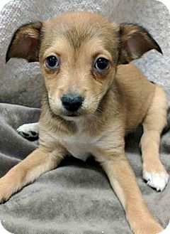 Chihuahua Mix Puppy for adoption in Gahanna, Ohio - ADOPTED!!!   Lagertha