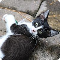 Adopt A Pet :: Catmandu - Spring, TX