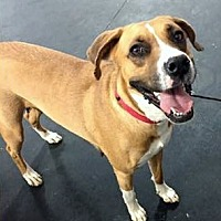 Boxer Mix Dog for adoption in Grafton, Wisconsin - Georgia