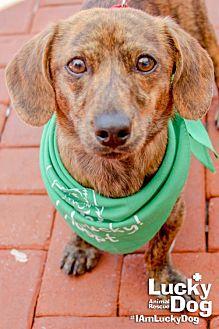 Dachshund Mix Dog for adoption in Washington, D.C. - Blake