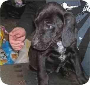 Hound (Unknown Type)/Labrador Retriever Mix Puppy for adoption in Baltimore, Maryland - Angus