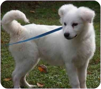 American Eskimo Dog/Collie Mix Puppy for adoption in Morehead City, North Carolina - Gracie
