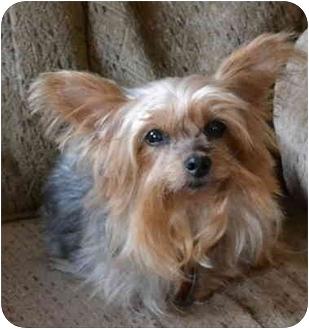 Yorkie, Yorkshire Terrier Dog for adoption in Greensboro, North Carolina - Chakie