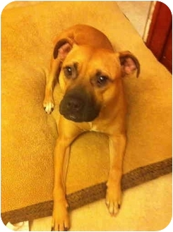 American Pit Bull Terrier Mix Dog for adoption in Lombard, Illinois - Frankie