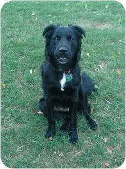 Labrador Retriever/Collie Mix Dog for adoption in Houston, Texas - Joey