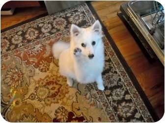 American Eskimo Dog Dog for adoption in Ft. Collins, Colorado - Violet