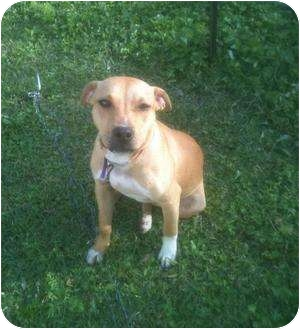 American Pit Bull Terrier Dog for adoption in Geismar, Louisiana - Lucky Mama