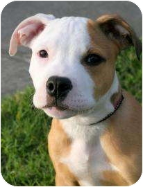American Pit Bull Terrier Mix Puppy for adoption in Sarasota, Florida - Finnegan