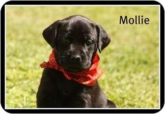 Labrador Retriever Mix Puppy for adoption in Glastonbury, Connecticut - Mollie