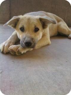 German Shepherd Dog Mix Puppy for adoption in Litchfield Park, Arizona - Tiffany - Only $85 adoption!