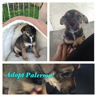 Chihuahua/Shepherd (Unknown Type) Mix Puppy for adoption in San Diego, California - Palermo