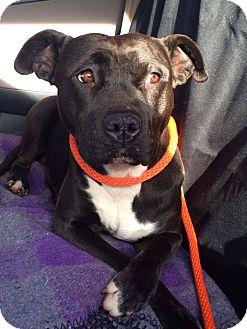 Pit Bull Terrier Mix Dog for adoption in Charlotte, North Carolina - Shyla