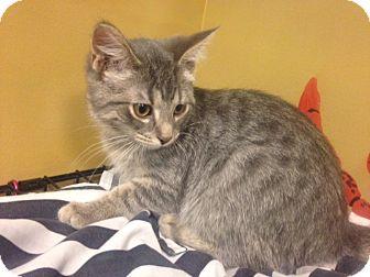 Domestic Shorthair Kitten for adoption in Byron Center, Michigan - Parsley