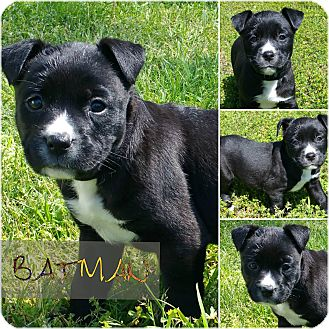 Shepherd (Unknown Type) Mix Puppy for adoption in Pittsburgh, Pennsylvania - Batman