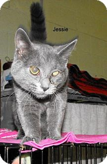 Domestic Shorthair Cat for adoption in Napoleon, Ohio - Jessie