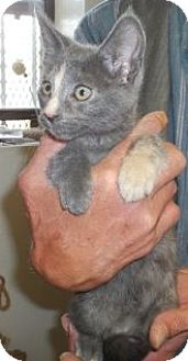 Domestic Shorthair Cat for adoption in Silver City, New Mexico - Pearl
