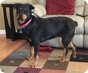 Rottweiler/Shepherd (Unknown Type) Mix Dog for adoption in Detroit, Michigan - Bailey#2- Adopted!