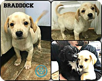 Beagle/Spaniel (Unknown Type) Mix Puppy for adoption in Kimberton, Pennsylvania - Braddock