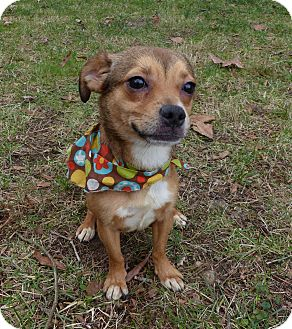 Chihuahua/Terrier (Unknown Type, Small) Mix Dog for adoption in Mocksville, North Carolina - Paris