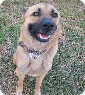 German Shepherd Dog/Husky Mix Dog for adoption in Littleton, Colorado - LAYLA