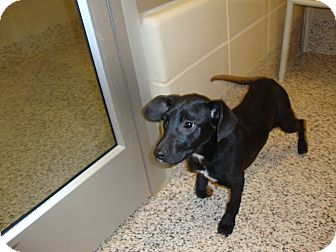 Labrador Retriever Mix Puppy for adoption in Aiken, South Carolina - Anju