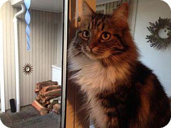 Domestic Mediumhair Cat for adoption in Bellevue, Washington - Della
