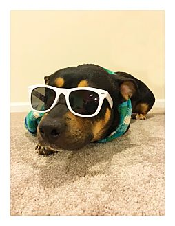 Corgi/Shepherd (Unknown Type) Mix Dog for adoption in Huntersville, North Carolina - Frankie