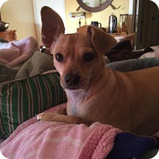 Chihuahua Dog for adoption in Corona, California - Jean Paul  - A gentle soul