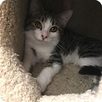 Domestic Shorthair Kitten for adoption in Westminster, California - Catnip