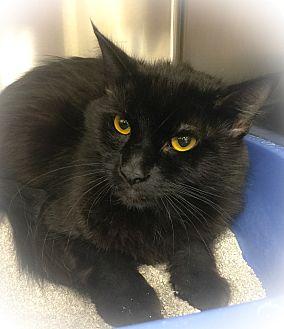 Domestic Mediumhair Cat for adoption in Webster, Massachusetts - Turkey