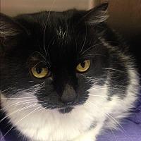 Adopt A Pet :: Kabuki - Newport Beach, CA