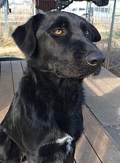 Labrador Retriever/Border Collie Mix Dog for adoption in Justin, Texas - Macy