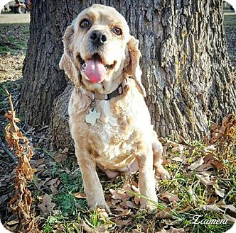 Cocker Spaniel Dog for adoption in Fredericksburg, Texas - Candy