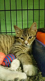 Domestic Shorthair Kitten for adoption in Bloomingdale, New Jersey - Frisky