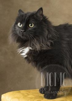 Domestic Longhair/Domestic Shorthair Mix Cat for adoption in Waco, Texas - Magpie