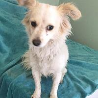Adopt A Pet :: Annabelle - Costa Mesa, CA