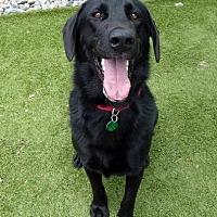 Adopt A Pet :: Chief - Rockville, MD