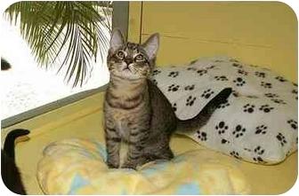 Domestic Shorthair Kitten for adoption in Englewood, Florida - Binks