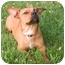 Photo 2 - Dachshund/Bull Terrier Mix Dog for adoption in Westfield, New York - Wanda