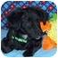 Photo 4 - Pomeranian/Dachshund Mix Puppy for adoption in Broomfield, Colorado - Tramp